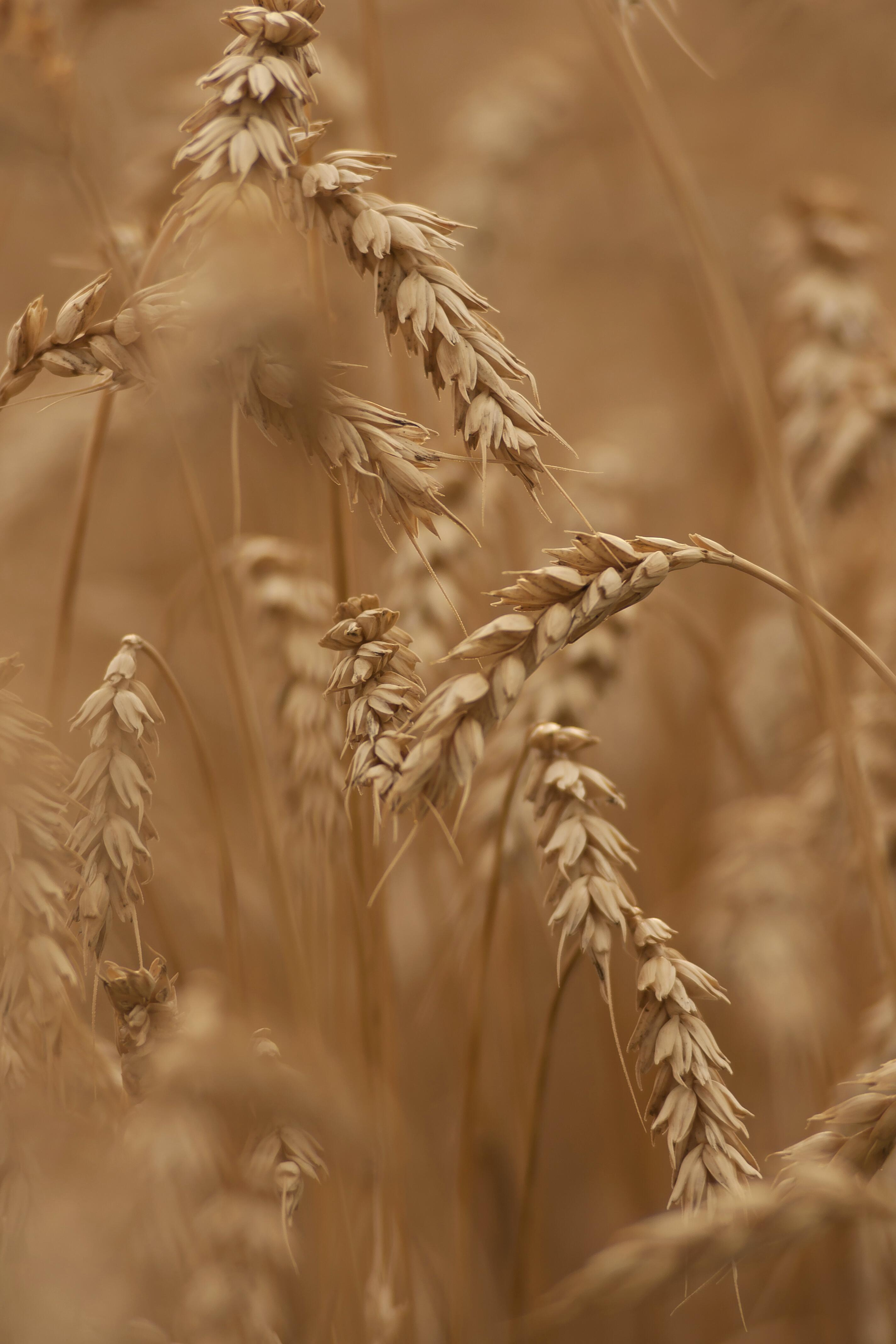 Wheat ready for the harvest.